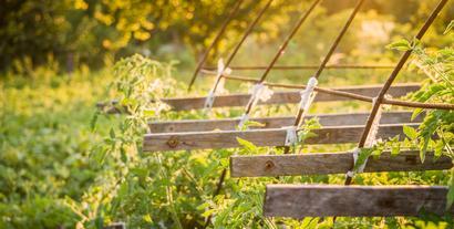 Sierpień w ogrodzie: zbieranie owoców, rozmnażanie roślin
