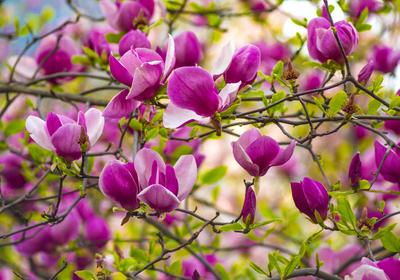 Krzewy ozdobne w ogrodzie: przegląd najpiękniejszych krzewów kwitnących, ozdobnych z liści i owoców